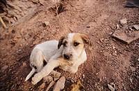 Dog. Cafayate. Salta province, Argentina