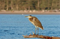 Great Blue Heron (Ardea herodias) in bay