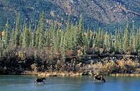 Alaska, Trans Alaska Pipeline, Moose, Alces alces, USA, America, United States, forest, two, pipeline, oil, autumn,