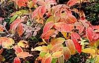 Frosted Honeysuckle (Diervilla lonicera) leaves in autumn colour. Walden. Ontario. Canada