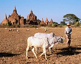 Herd at Bagan´s archeological zone. Bagan. Myanmar (Burma)