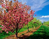 Blooming cherry tree (Prunus sp.) in pear orchard, Upper Hood River Valley. Hood River county. Oregon. USA
