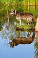 Wolf (Canis lupus). Near the Kettle River, Pine County, Minnesota, U.S