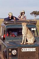 Cheetah (Acinonix jubatus). Masai Mara. Kenya