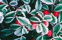 Frost covered garden shrubs. Seattle, Washington. USA
