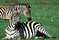 Yellowbilled Oxpecker (Buphagus africanus) and Burchell's Zebra (Equus burchelli). Masai Mara. Kenya
