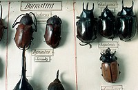 Dynastinae bugs from old collector's box