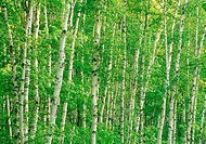 White Birch Forest, Pictured Rocks National Lakeshore, Michigan, USA