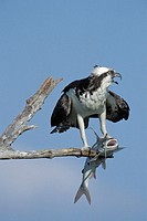 Osprey (Pandion haliaetus) with fish. Sanibel Island, Florida. USA