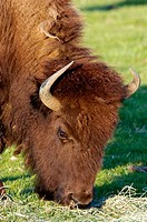Female Bison grazing