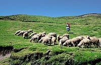 Young woman herding their sheeps at the Andes mountain, the Sierra area. Ecuador