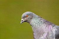 Rock Dove (Columba livia). Buenos Aires. Argentina