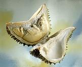 Halved durian (stink fruit)
