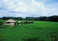 Paddy field (Wayanad, Kerala, India)