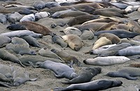 California, Elephant Seals, animals, sleeping, Mirounga angustirostris, Piedras Blancas, Highway 1, USA, America, Un