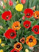 Tulips (Tulipa hybr.)