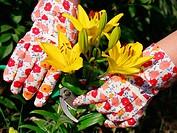 Cutting Lilies (Lilium hybr.)