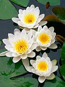 Water Lilies (Nymphaea alba)