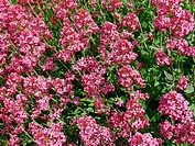 Red Valerian (Centranthus ruber)