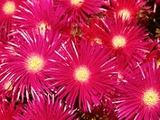 Livingstone Daisies (Mesembryanthemum sp.)