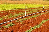 Lettuce, plantations, agriculture, Brazil (thumbnail)