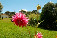 Flowers, dahlia, nature (thumbnail)