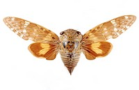 Macrophotograph of an unidentified cicada (family: Cicadidae) from India.