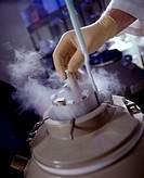 Close-up of a researcher removing frozen samples of the roundworm Caenorhabditis elegans from a liquid nitrogen tank. C.elegans is a favored organism ...
