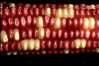 Genetically manipulated corn, red-white, 3:1 ratio.