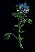 Borage (Borago officinalis), an herb with medicinal and culinary uses. It has been used in the treatment of fever and pulmonary problems. It is said t...