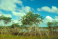 American mangroves (Rhizophora mangle) growing in a salt water environment, Belize.
