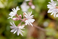 Small-flowered Woodland Star (Lithophragma parviflora) flowers in Horth Hill Regional Park, North Saanich British Columbia, 4 April 2004