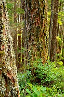 Western Hemlock (Tsuga heterophylla) in woods near Sayward, Vancouver Island. British Columbia. Canada