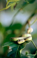 Wagler´s Pit Viper (Tropidolaemus wagleri) on a branch in close-up. Sabah. Borneo, Malaysia