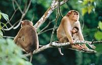 Young Pig-tailed Macaque (Macaca nemestrina) suckling. Sabah. Borneo, Malaysia