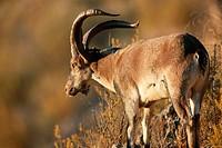 Rock Goat (Capra ibex). Parque Natural Sierras de Tejeda y Almijara. Málaga province, Spain
