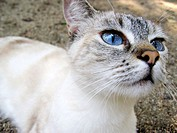 Blue eyed cat looking to the camera. Botanical Garden. Valencia. Spain