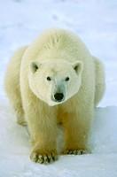 Polar Bear (Thalarctos maritimus) Canada