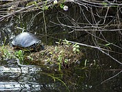 Turtle. Everglades National Park. Florida. USA