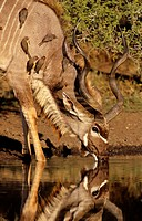 Kudu (Tragelaphus strepsiceros) drinking. Kruger National Park, South Africa