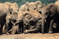 Breeding herd of Elephants (Loxodonta africana). Addo Elephant National Park. South Africa