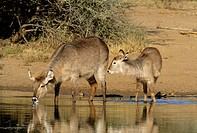 Waterbuck (Kobus ellipsiprymnus) mother and calf. Kruger National Park, South Africa