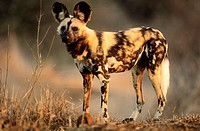 Wild Dog (Cape Hunting Dog). Lycaon pictus. Kruger National Park, South Africa