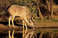 Kudu, Tragelaphus strepsiceros, Kruger National Park, South Africa