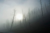 Yellowstone National Park, burned trees with ground fog.