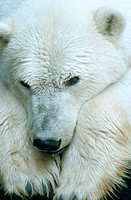 Polar Bear (Ursus maritimus)
