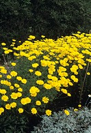 Golden marguerite (Anthemis tinctoria ´Kelway´) flowers.