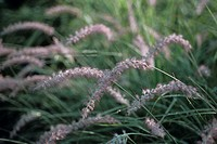 Oriental fountain grass (Pennisetum orientale). This grass is grown ornamentally.