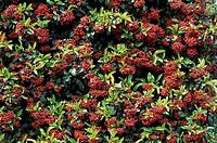 Gigg´s firethorn (Pyracantha atalantoides).