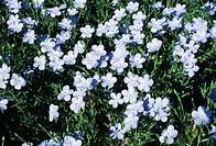 Flax, or linseed, (Linum usitatissimum) flowers.